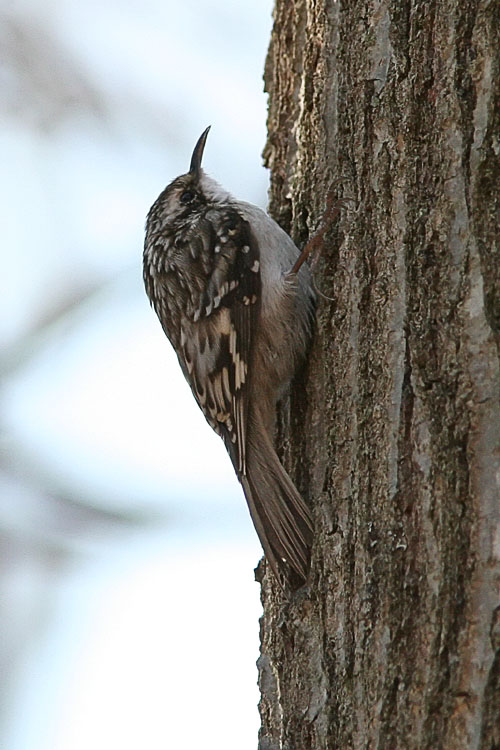 On an early-morning visit to Huntley Meadows, John spied this little chap scampering along the bark of a tree.  The Brown Creeper is an uncommon visitor to Huntley Meadows, and the spotting made John and Beth's morning.