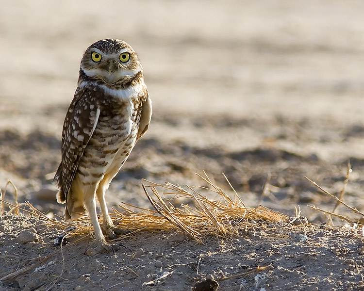 John spied this Burrowing Owl perched atop an irrigation dike in the Sonny Bono National Wildlife Refuge on the Salton Sea in California.