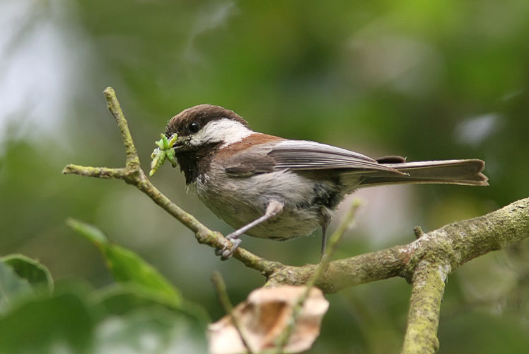 One of these little chickadees caught John's attention while he was searching for an elusive warbler in the trees.  The little fellow held onto his meal of caterpillars the entire time that he hopped from one branch to another, apparently warning John away from his nest.