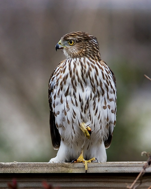 I just happened to glance out the living room window and spy this young Cooper's Hawk perched atop our backyard fence on a dreary February morning.  He remained incredibly bold, staying put and letting me approach to within a few feet as I took photo after photo of him and his breakfast.