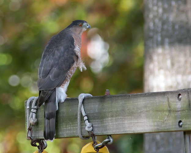 Rushing off to a wedding photo shoot for some friends, John spotted this large Cooper's Hawk--likely a female--perched in his backyard, looking for a bit of lunch.  He managed a couple of quick photos before the hawk flew away.
