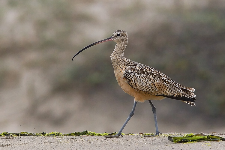 With one of the longest bills of any bird, the Long-billed Curlew makes for quite an interesting sight. John photographed this one among a large group of mixed shorebirds at Moss Landing State Beach on the nothern end of Monterey Bay.