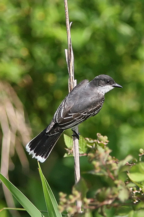 The Monday morning bird walks had reported the Eastern Kingbird for Huntley Meadows all throughout the spring, but Beth and John had themselves seen only phoebes before catching this nice-looking kingbird showing off his distinctively-marked flycatcher tail on a recent trip.