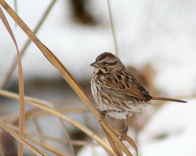 John took advantage of the ten inches of snowfall from a nor'easter that blew through the Washington area to go out and capture photos of several birds against the white backdrop of snow.  At Huntley Meadows in Fairfax County, VA, he photographed this Eastern Song Sparrow taking a break from forraging for food amidst the snow-covered grasses and wetlands.