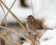 Eastern Song Sparrow