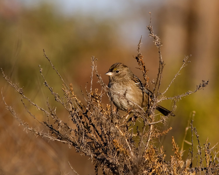 Though this little sparrow isn't in the easiest plumage to tell, it is indeed a Golden-crowned Sparrow, one of several John saw when making a brief visit to the Don Edwards National Wildlife Refuge in the San Francisco Bay area in late fall.