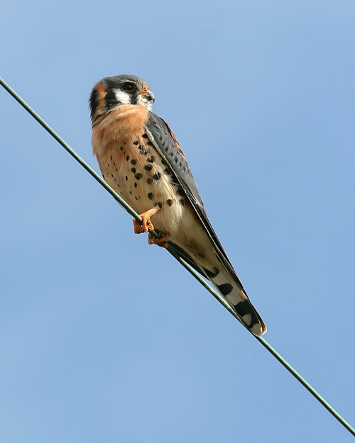 The American Kestrel is a small falcon often seen perched along power lines and fenceposts, spying out prey in the form of small songbirds and hapless furry mammals.  John saw this one at the end of an incredible day of birding at Fort De Soto near Tampa, Florida.