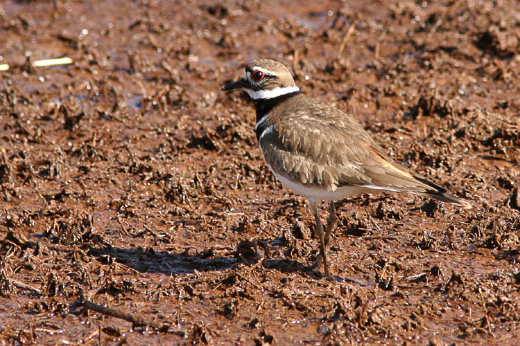 The Killdeer that John and Beth had spotted in Huntley Meadows the previous Sunday afternoon were still around for their early-morning bird walk, allowing John to get several excellent photographs showing their bright red eyes as they picked their way across the muddy ground.  A moment later, a pair of Mallards chased away this Killdeer and its companion--greedy ducks!
