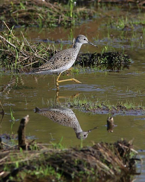 Late springtime brought many shorebirds to Huntley Meadows Park, including several species of sandpiper and quite a few Lesser Yellowlegs like the one pictured here.