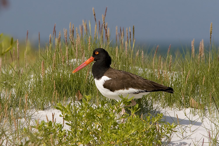 A visit to Florida's Fort De Soto Park is almost always guaranteed to be a productive birding outing, and wading across the tidal pools of the north beach area indeed proved such for John when he photographed this American Oystercatcher.
