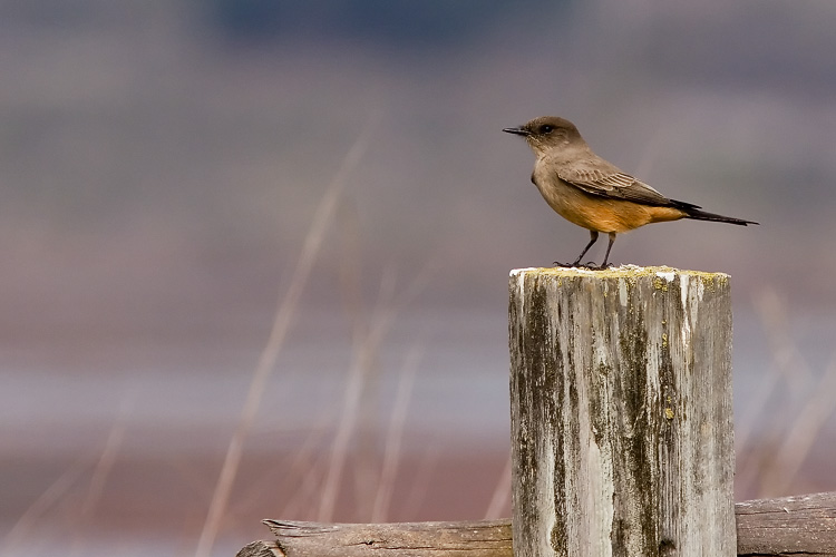 I'd run into a Say's Phoebe previously at Elkhorn Slough, but didn't get a photo quite as nice as this one; the little guy perched atop the weathered log of a fence against a backdrop of colors so impressive I used this photo on the cover of my 2008 book.