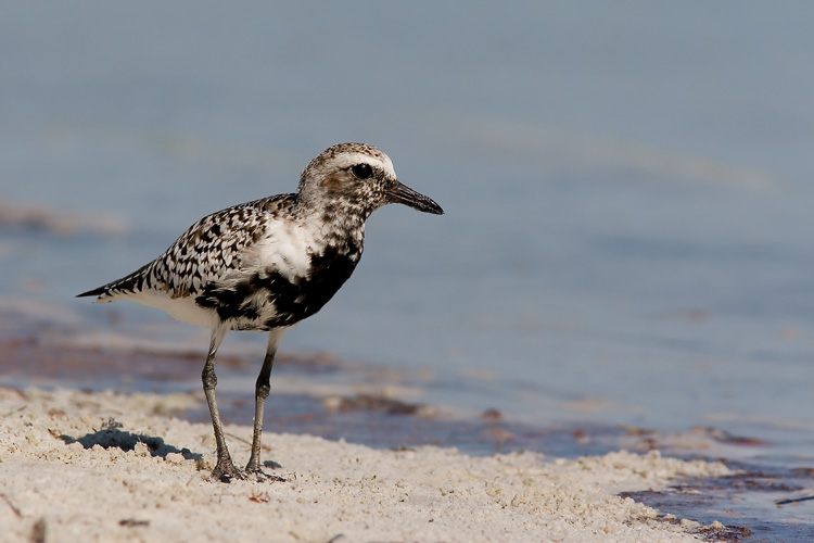 The eponymous black belly of this Black-bellied Plover had just begun to come in when John photographed him at Florida's Fort De Soto Park; the breeding plumage will stretch up to cover the bird's face in the same black evident on his belly in this photo.