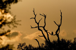 Payne's Prairie: Hawk and Tree Silhouette at Sunset