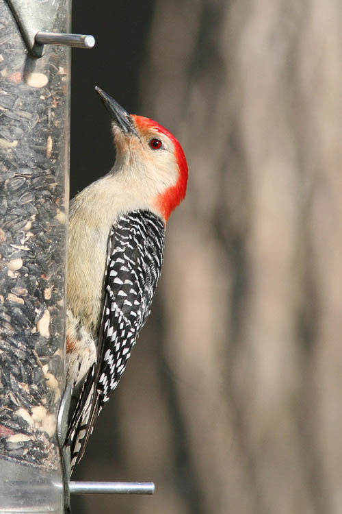 Several Red-bellied Woodpeckers dine both on the suet feeder and the trees in Beth and John's backyard.  This one decided to visit the seed feeder to pick out a few tasty peanuts before flying back up into the branches overhead.