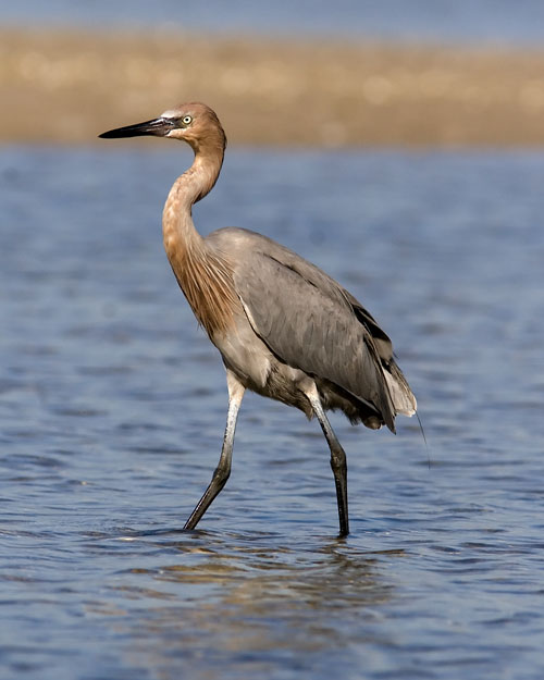 Unlike its relatives the Great Blue Heron and the Great Egret, the Reddish Egret is rarely seen outside the southern United States.  John encountered several picking their way through the tidal pools at Fort De Soto Park during a couple of birding visits.