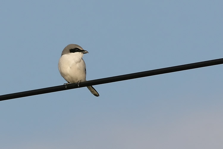 The Loggerhead Shrike may be a songbird in classification, but its feeding habits have a decidedly gruesome edge more akin to the raptors: the shrike impales its prey upon thorns and barbed wire.  This one waited perched upon a power line outside Chapman's Pond, looking for likely victims for its carnage.