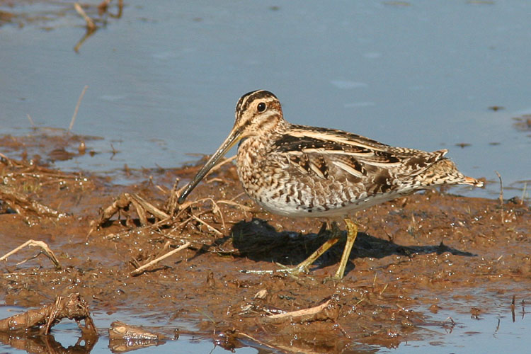 Huntley Meadows had recently seen the appearance of several snipe, and though these small, long-billed birds tend to be fairly reclusive and at times can be solitary, John and Beth saw several amongst the marshy reaches on a morning visit to the park.