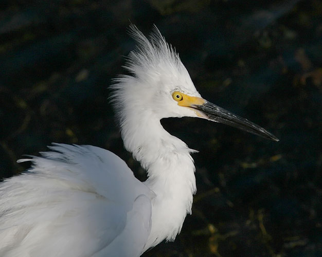 John saw this Snowy Egret while walking along the harbor's edge outside his hotel room on Mission Bay in San Diego.  Though John was a bit too close to get a full-body shot of the egret, he still managed to capture quite an interesting shot of the bird's 'hairdo.'