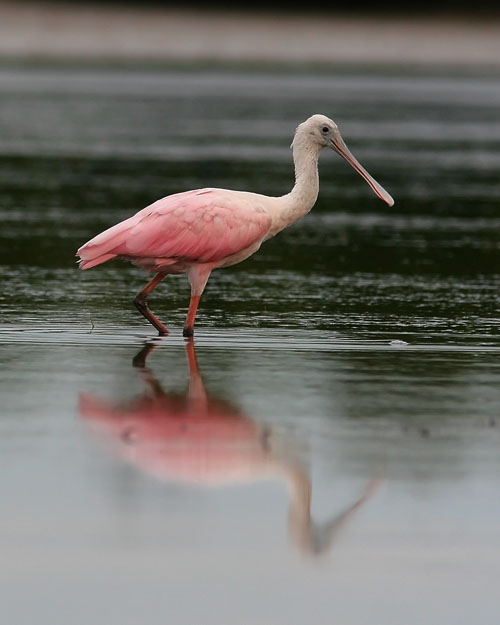 John saw his first Roseate Spoonbill at the St. Marks National Wildlife Refuge on a cold November morning, but the far-off and huddled-down birds had not made for a good photograph. John was delighted to spot a pair in the tidal pools of Fort De Soto Park, and though the overcast skies didn't make for perfect lighting, John was still quite pleased with the images he captured.