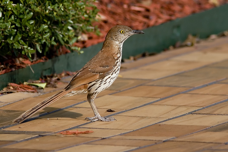 During a long road trip down to Florida to visit Beth's family, we stopped at a McDonald's to grab a quick bite to eat. While I sat in the car, this Brown Thrasher popped out of the shrubbery and posed briefly for a photograph.