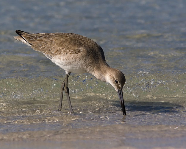 Several flocks of Willets scoured the shores of Fort De Soto Park on the morning John and Beth visited. The birds plucked tiny mollusks from the sand, apparently swallowing the colorful bivalves whole.