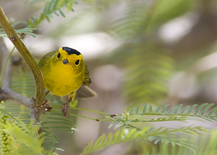 This little Wilson's Warbler peeked out from around one of the trees near the Anza-Borrego Desert State Park's nature center in Borrego Springs, California.
